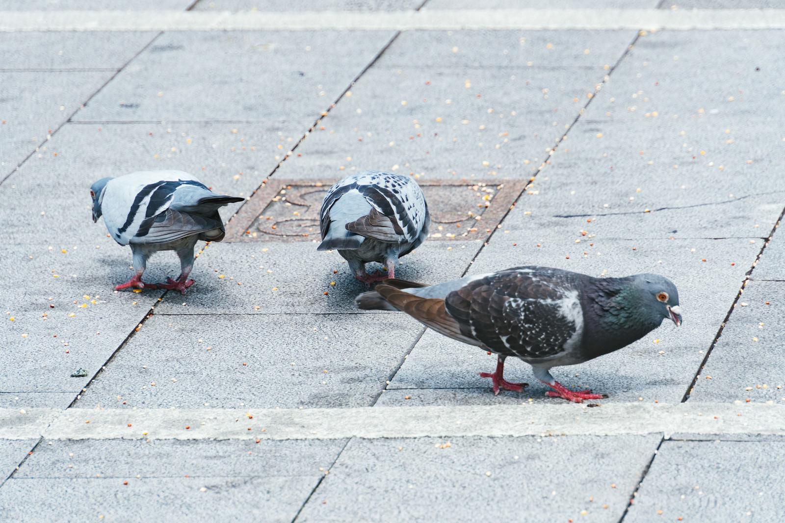「餌を貪る鳩さん」の写真
