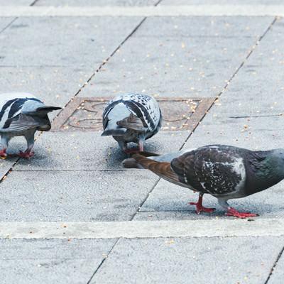 餌を貪る鳩さんの写真