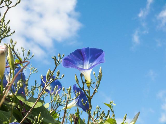 青空とアサガオの写真