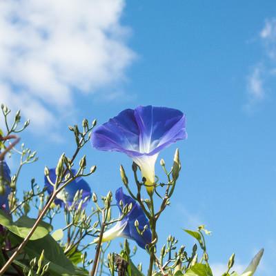 「青空とアサガオ」の写真素材