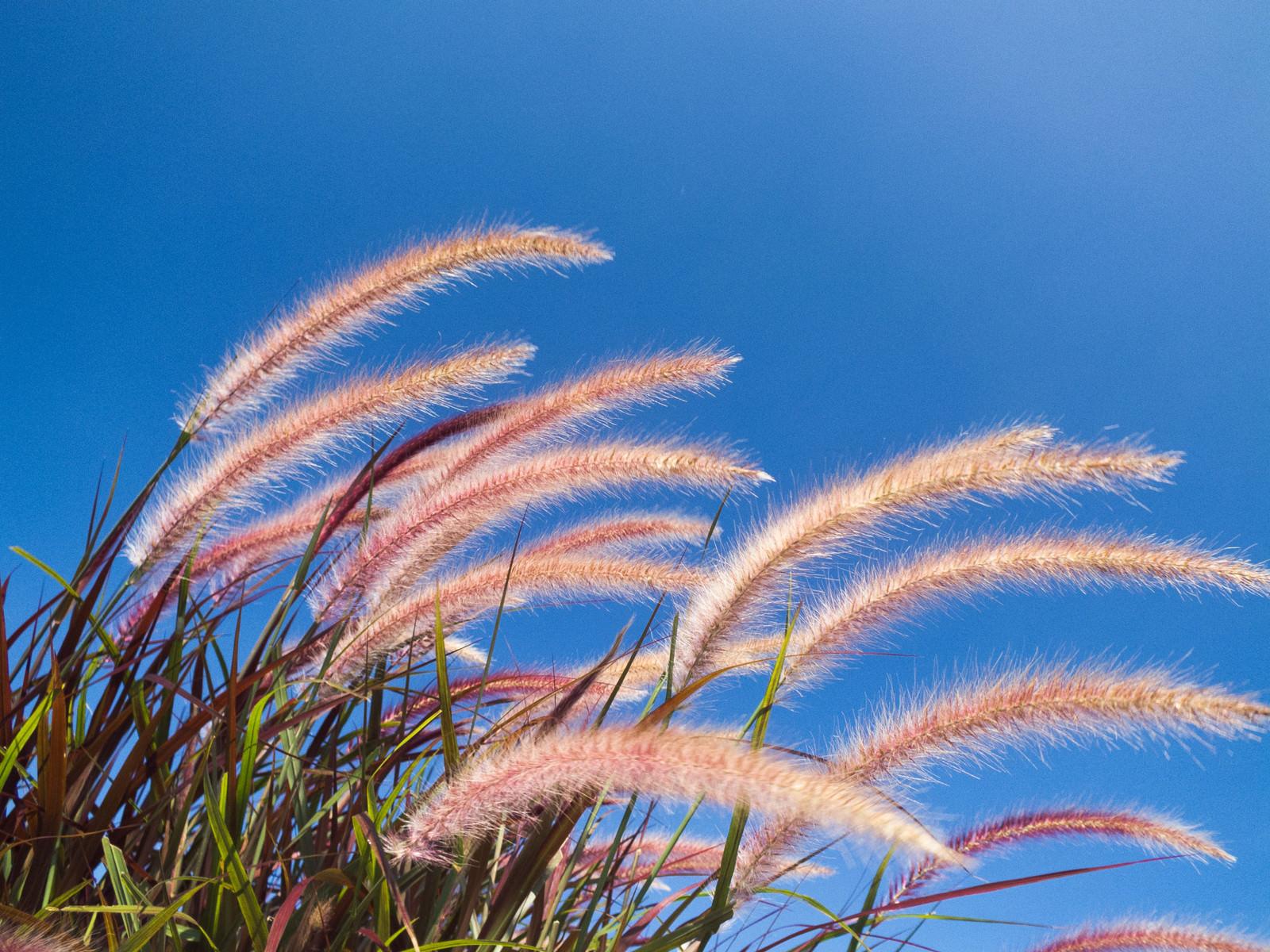 「青空とペニセタム」の写真