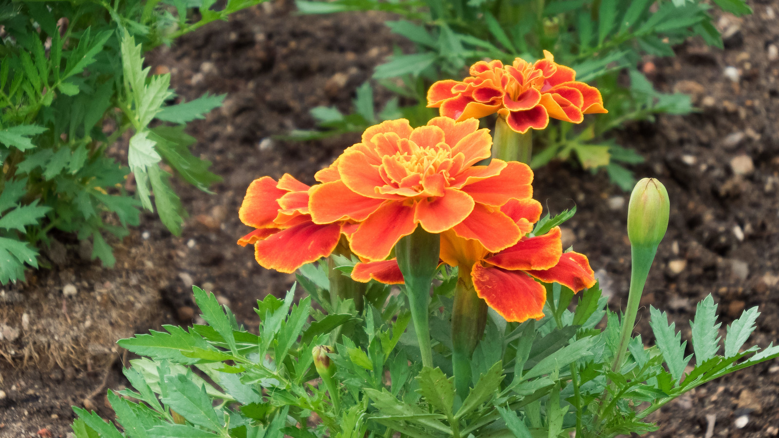 「庭に咲いたフレンチマリーゴールド庭に咲いたフレンチマリーゴールド」のフリー写真素材を拡大