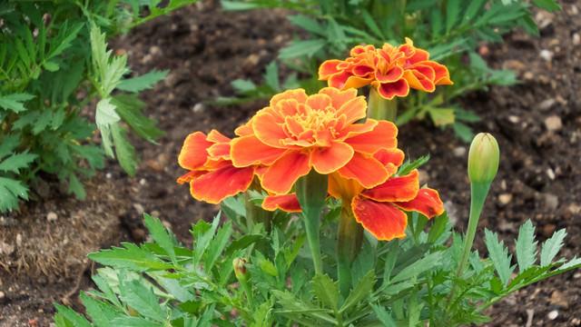 庭に咲いたフレンチマリーゴールドの写真