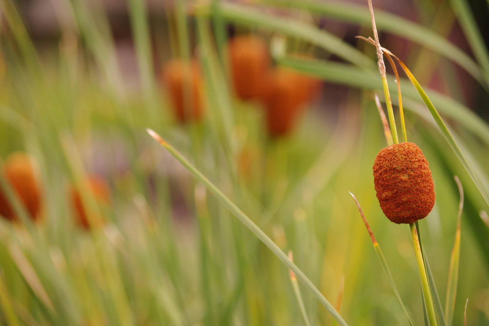 「ガマの穂」の写真
