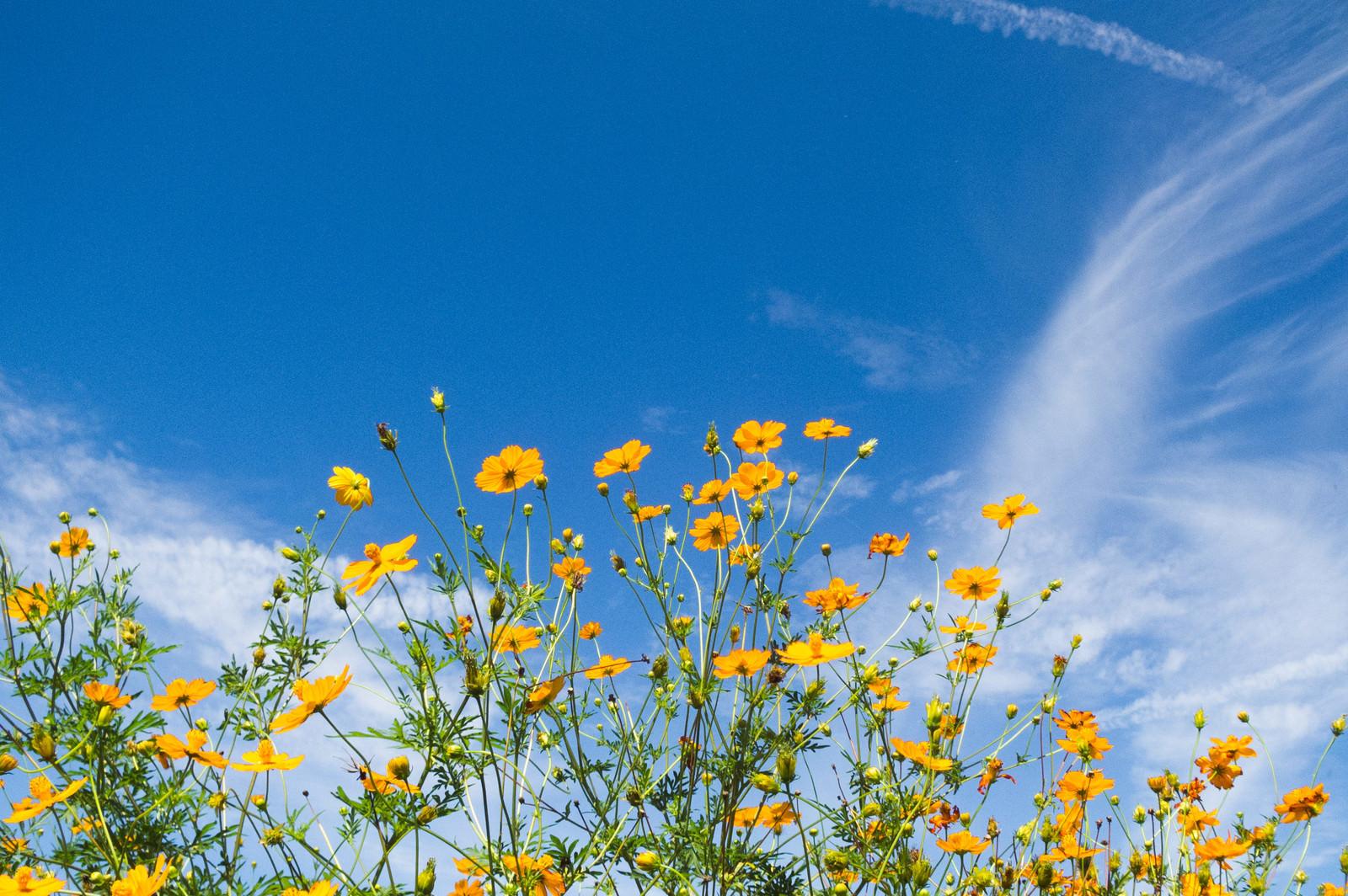 「花咲くキバナコスモス」の写真