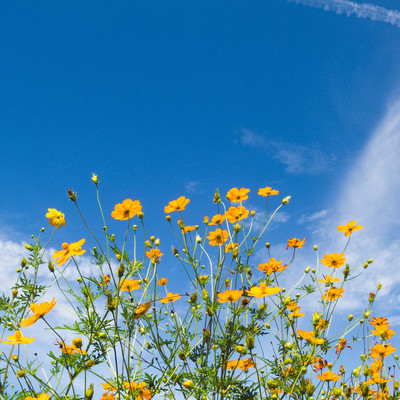 「花咲くキバナコスモス」の写真素材