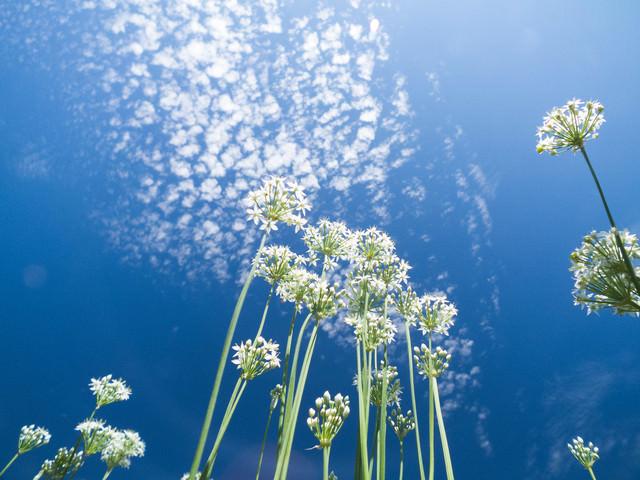 青空とニラの花の写真