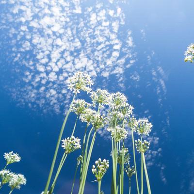 「青空とニラの花」の写真素材