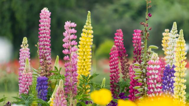 カラフルなルピナスの花の写真
