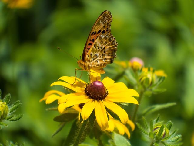 ルドベキアの花と蛾の写真