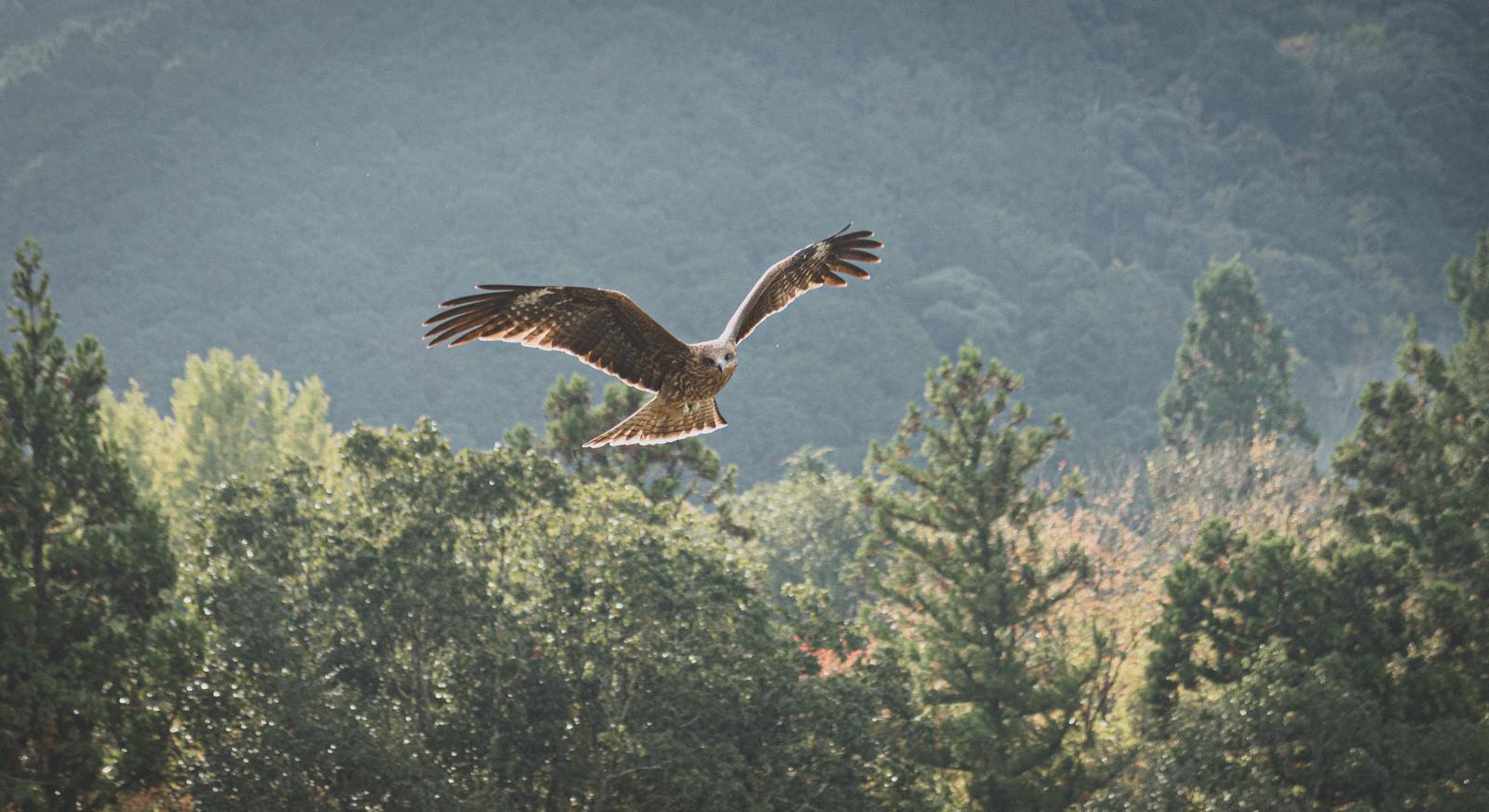「大きな翼を広げるトビ」の写真