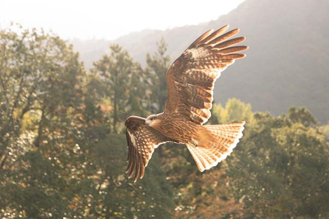両翼を広げて舞い上がるトンビ(鳶)の写真