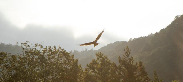 光を浴びて大空を舞う鳶(トンビ)の写真