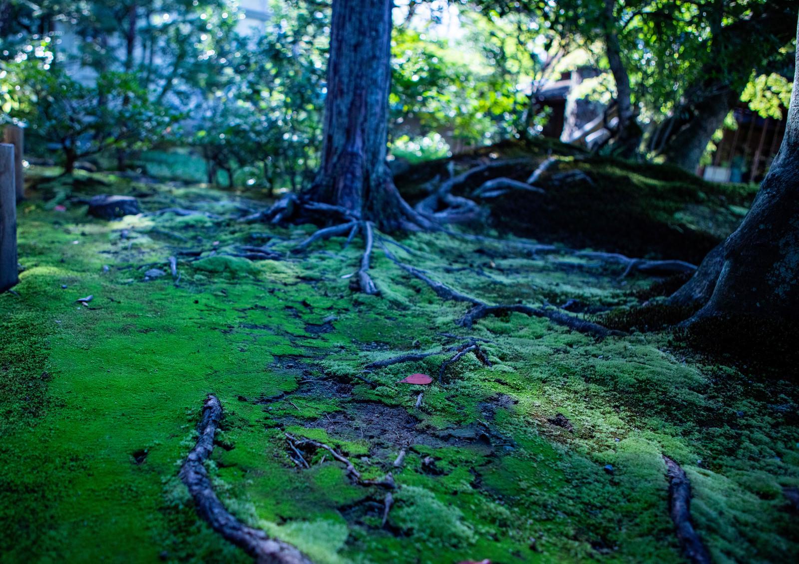 「苔生す庭園に張りめぐる木の根」の写真