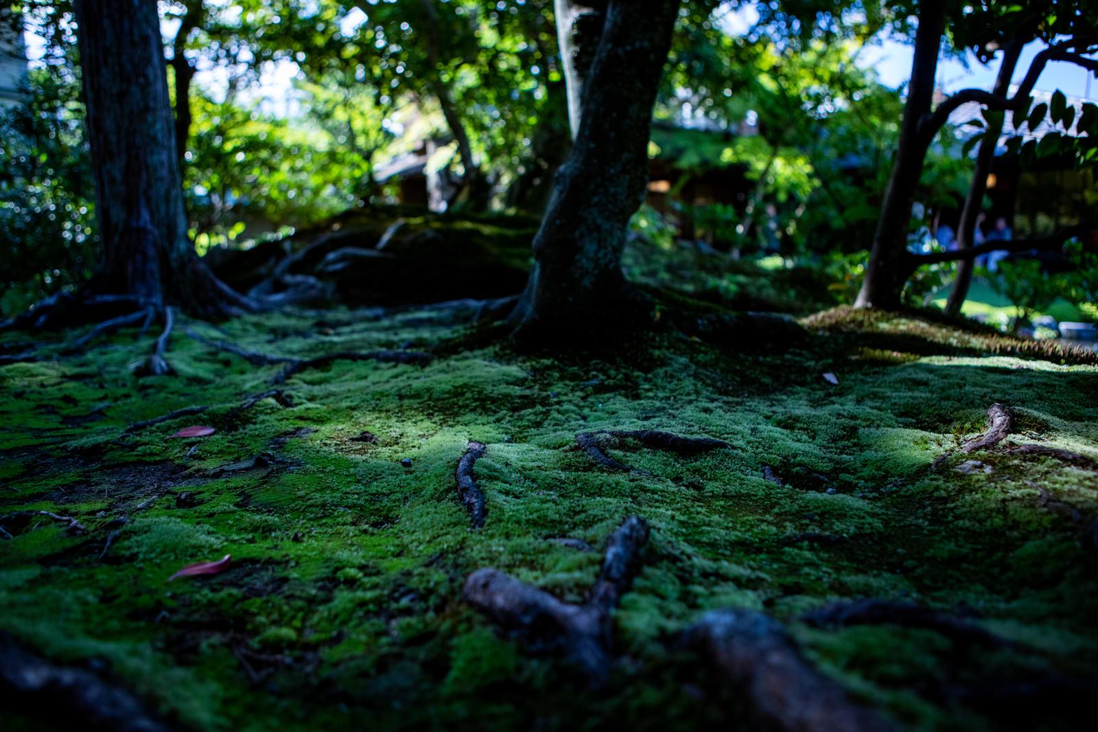 「日本庭園の苔生す地面に張りめぐる木の根」の写真