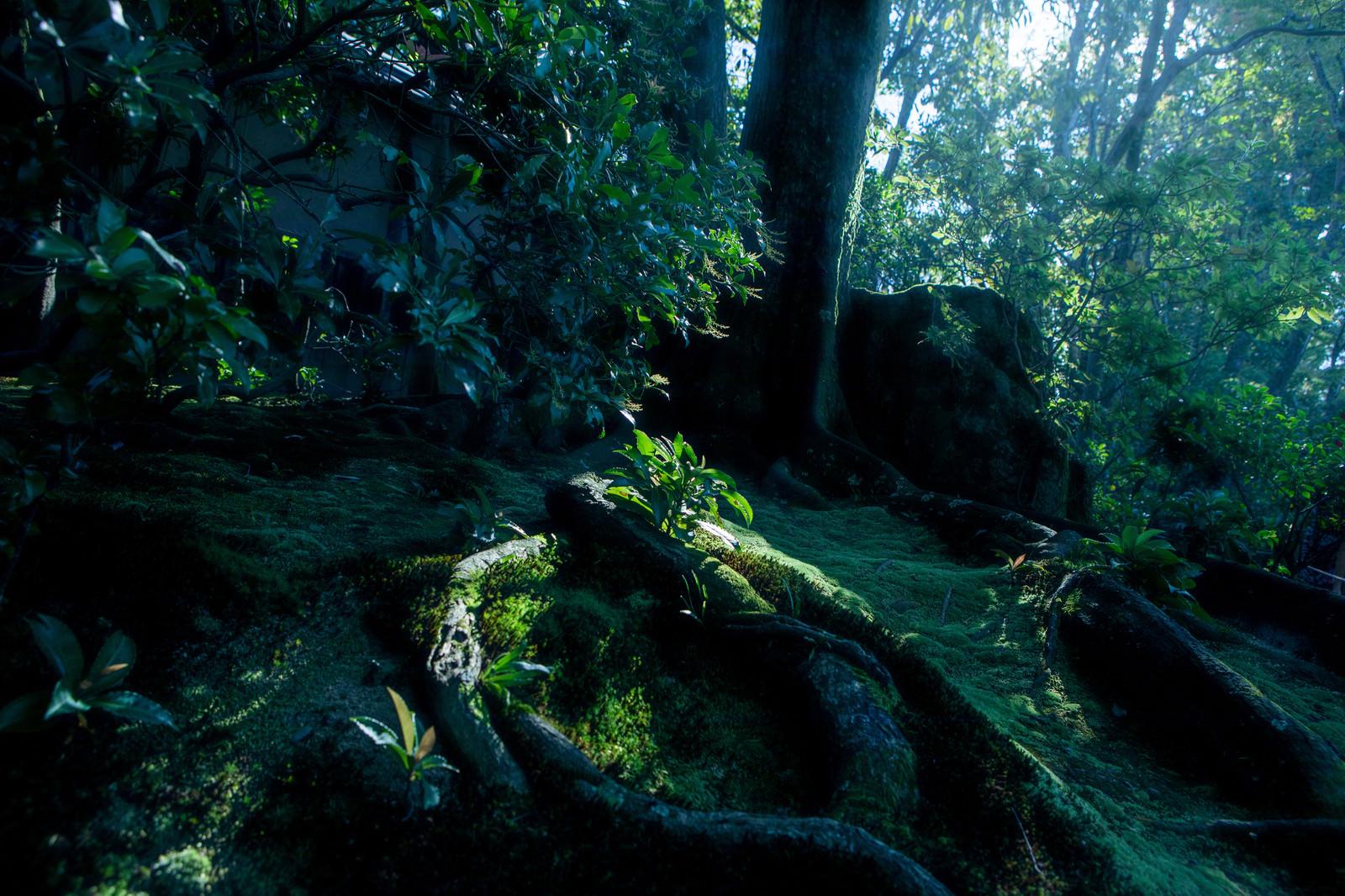 「苔生す地面に蛇のようにうねる根」の写真