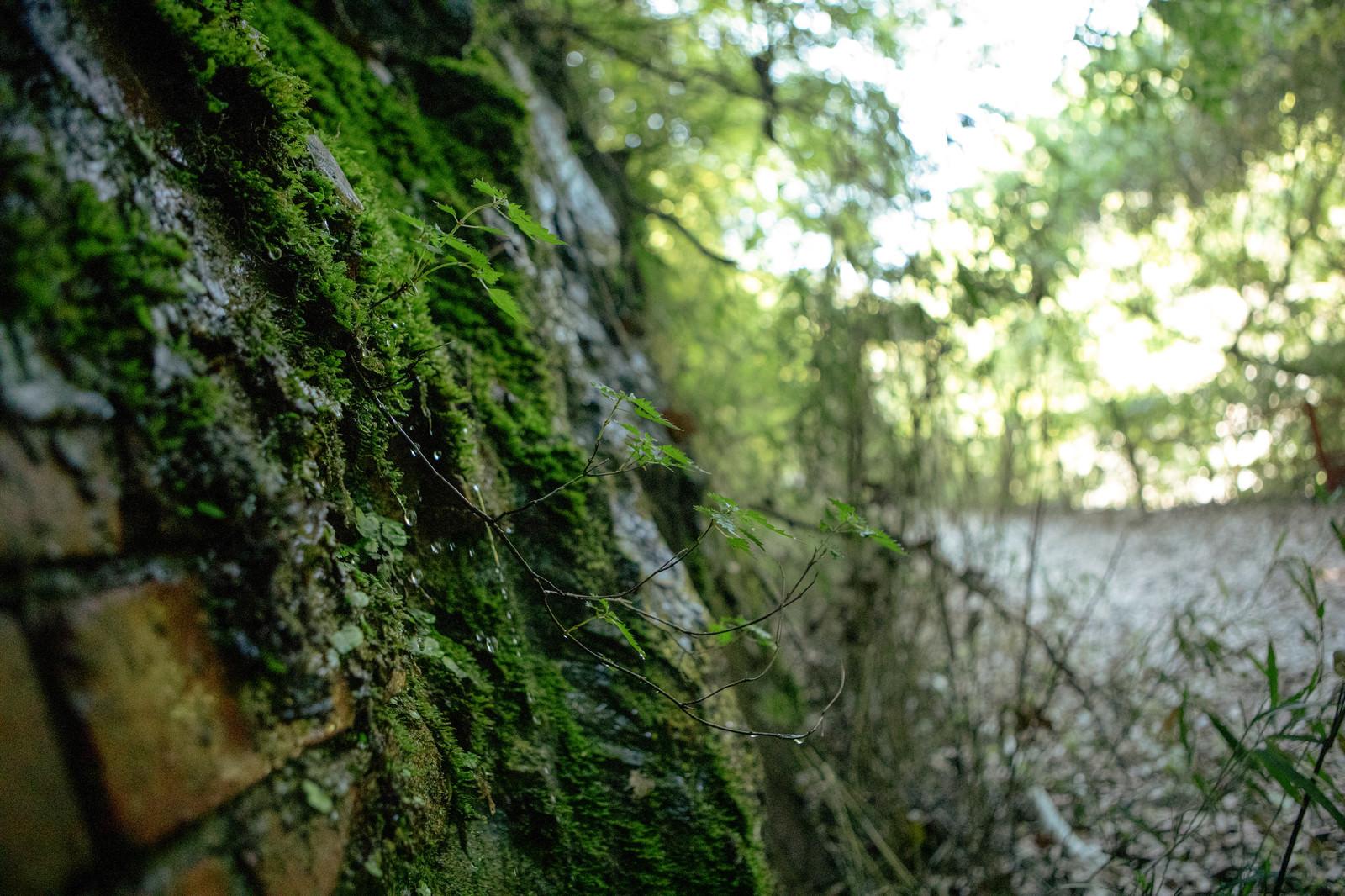 「苔むすレンガの壁と植物」の写真