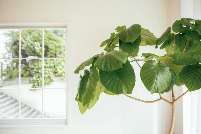 窓際に置かれた観葉植物の写真