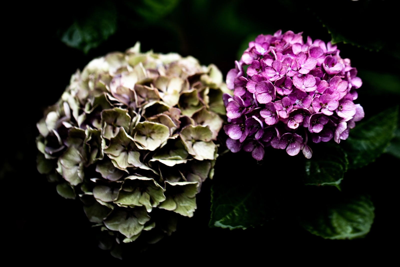 「梅雨時期の紫陽花」の写真