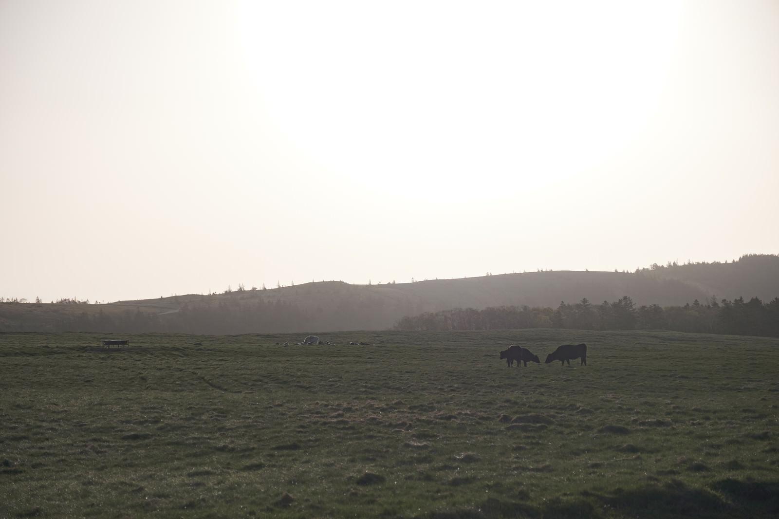 「美ヶ原高原と牛」の写真