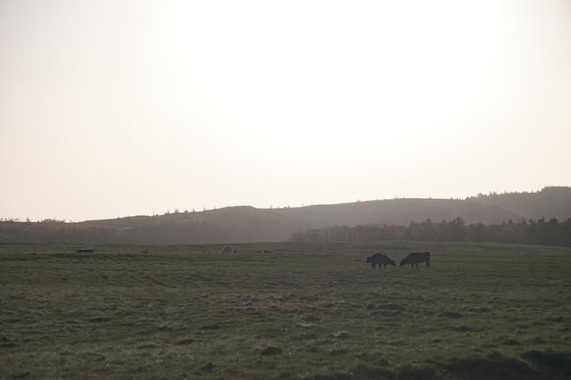 美ヶ原高原と牛の写真