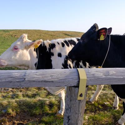 牧場の牛2頭の写真