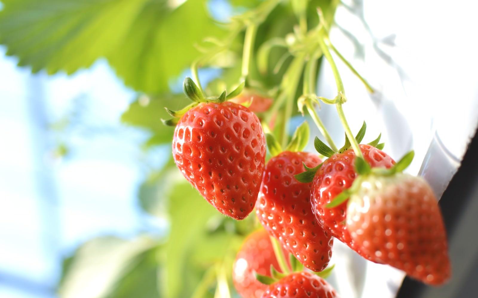「苺狩り」の写真