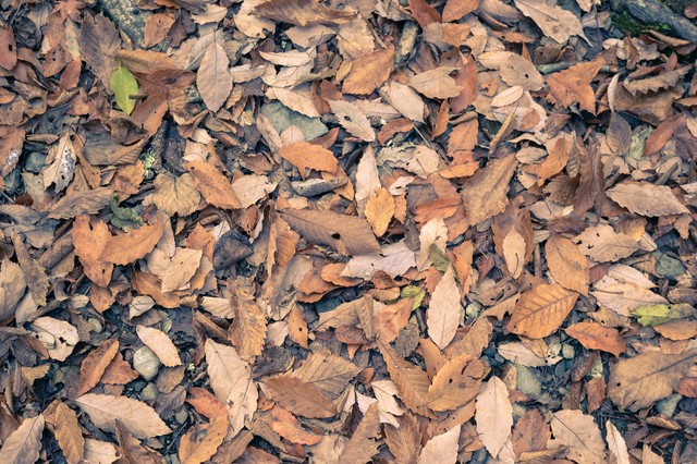 足元の落ち葉の写真