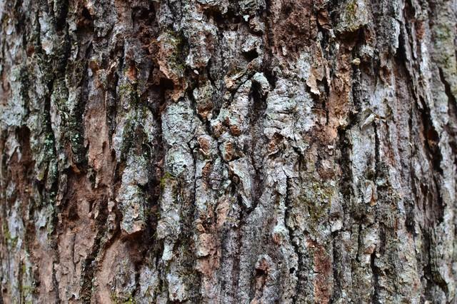カサカサな樹皮の写真