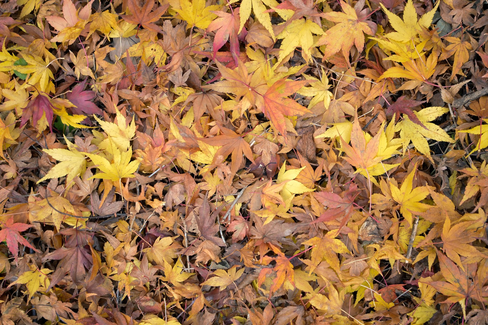 「もみじの落ち葉」の写真
