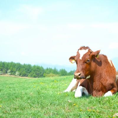 「草原の牛」の写真素材