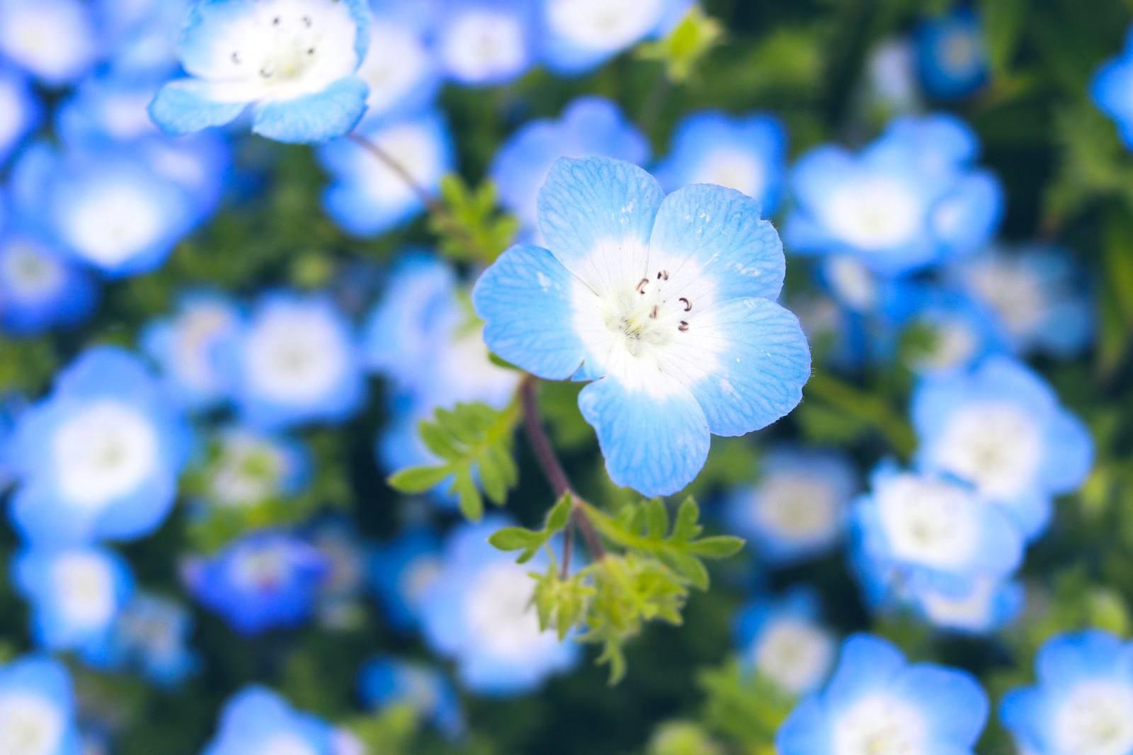 「大きく花開くネモフィラ」の写真