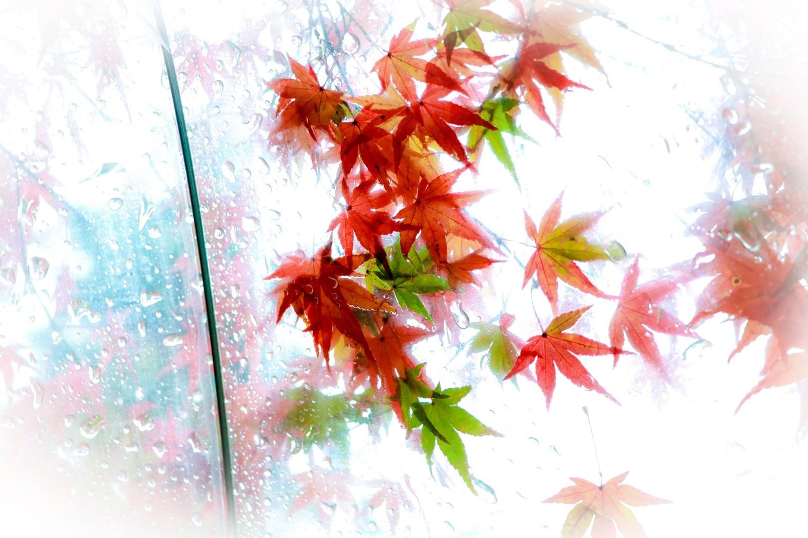 「ビニール傘越しのもみじの葉」の写真
