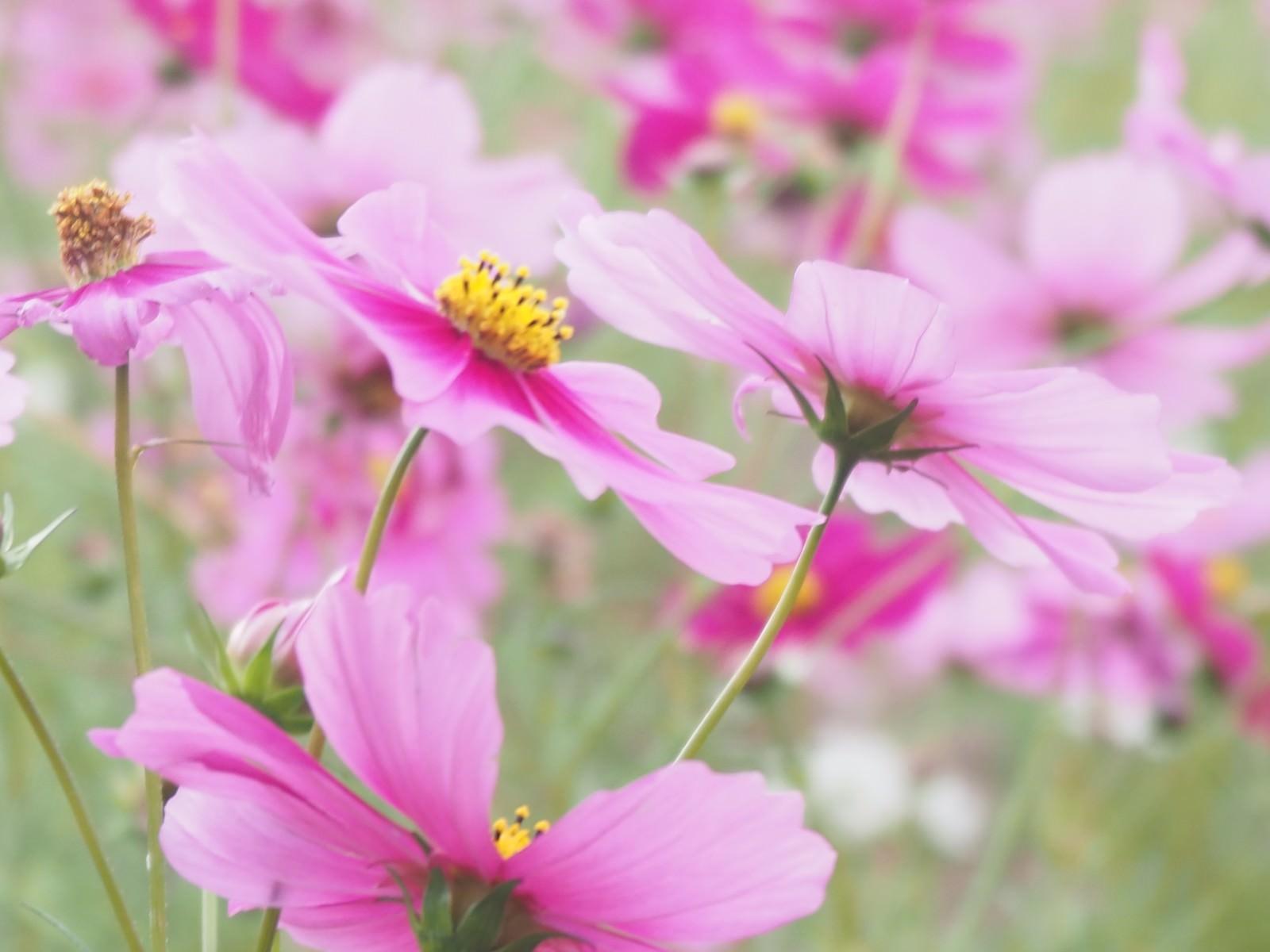 「大きく花開くコスモス」の写真