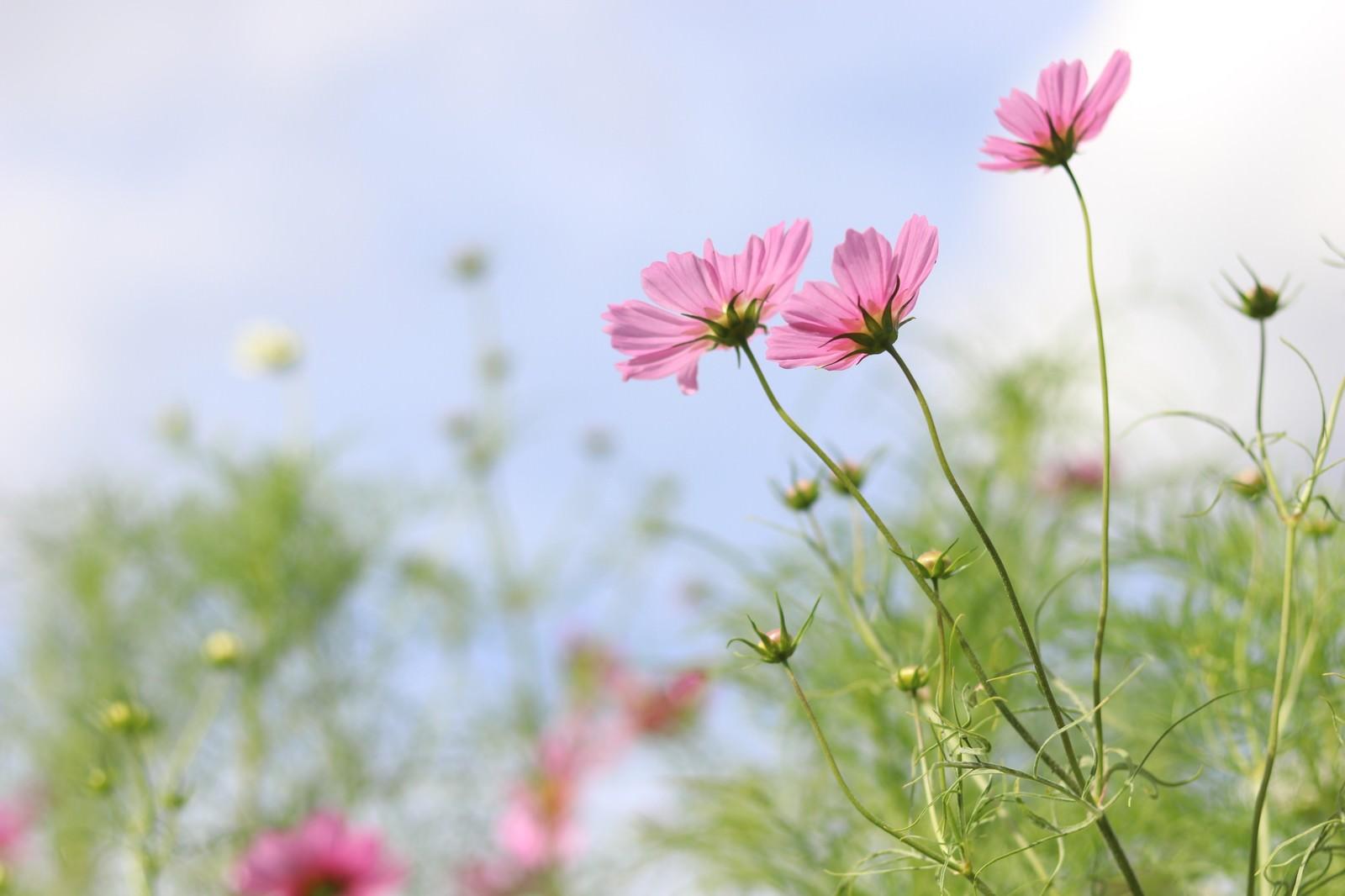 「風に揺れるコスモスの花」の写真