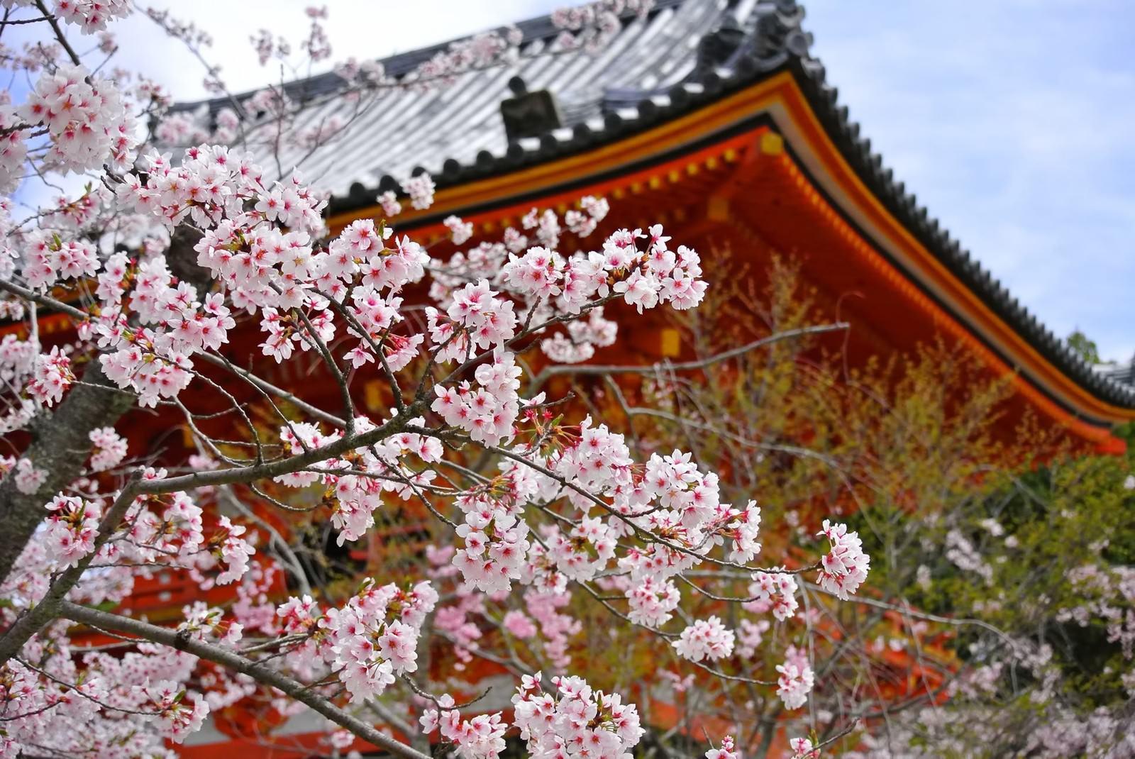 「京都・仁和寺の桜」の写真