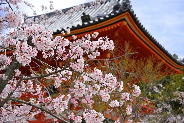 京都・仁和寺の桜の写真
