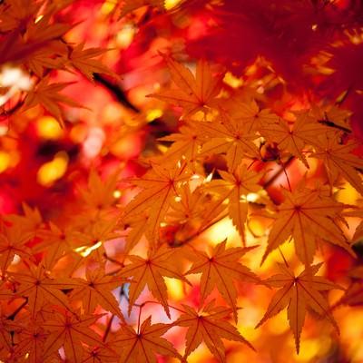 赤く色づくモミジの写真