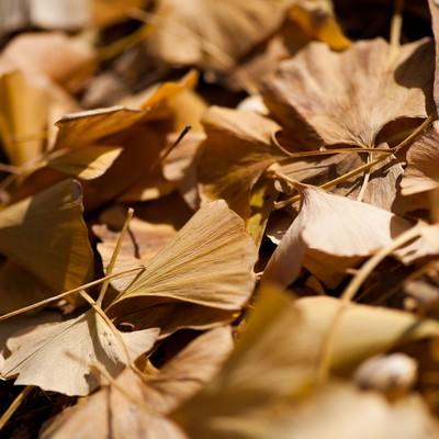 いちょうの落ち葉の写真