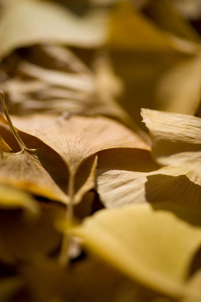銀杏落葉の写真