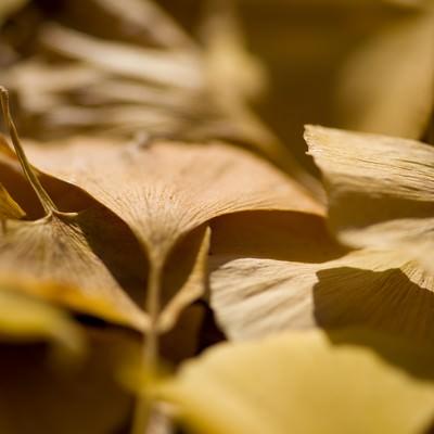 「銀杏落葉」の写真素材