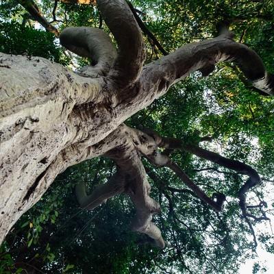 玉前神社のご神木(イスの木)の写真