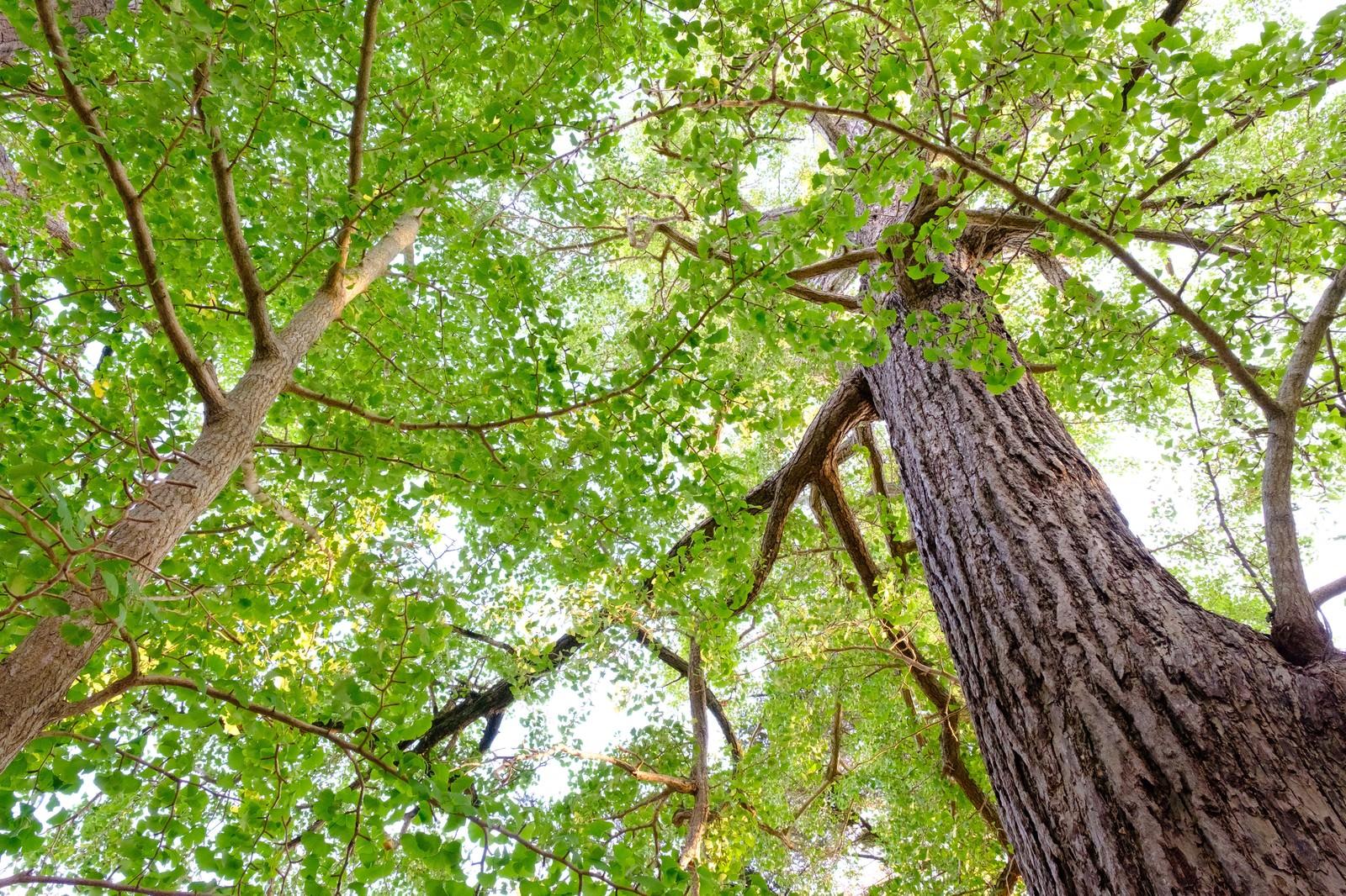 「玉前神社の御神徳であるイチョウの木(千葉県一宮町)」の写真