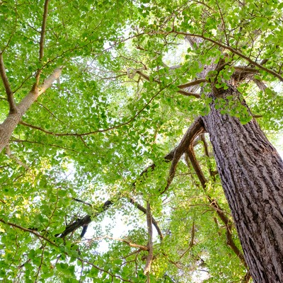 玉前神社の御神徳であるイチョウの木(千葉県一宮町)の写真