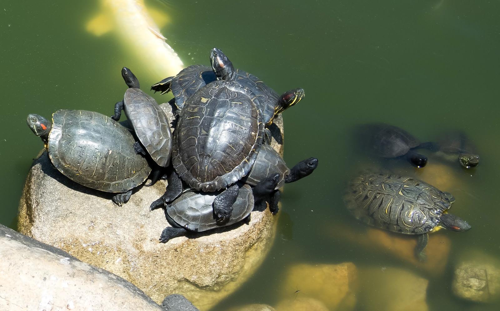 「甲羅干しスポットに集まりすぎる亀さん」の写真