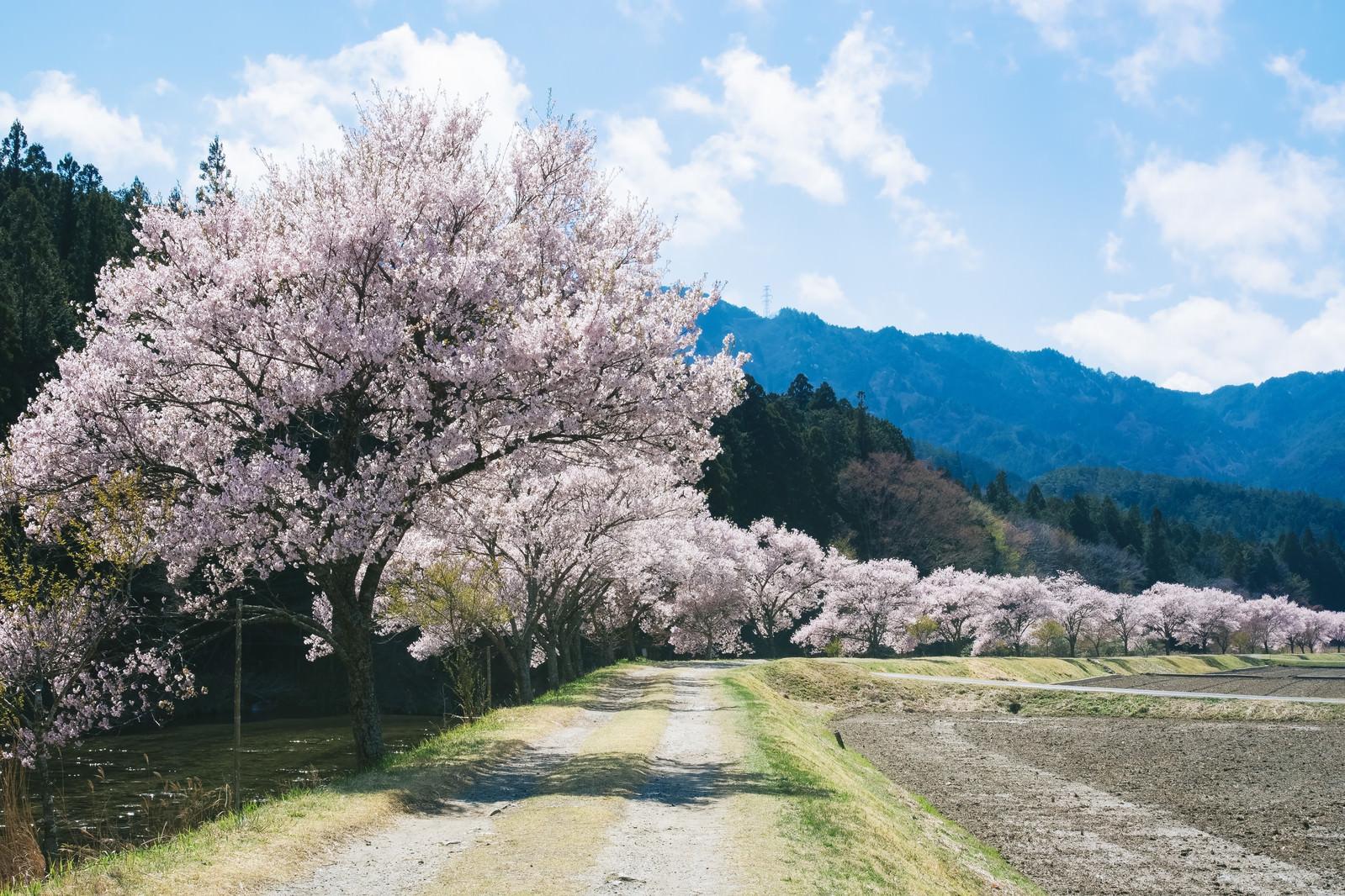 「名倉川のコヒガンザクラ(設楽町)」の写真