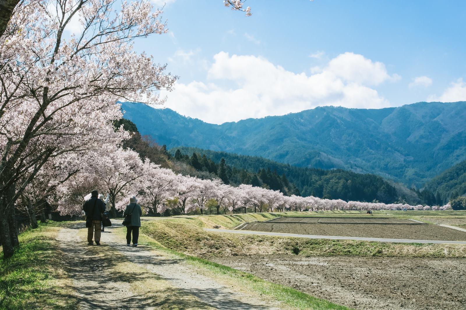 「桜並木を花見しながら歩く観光客」の写真