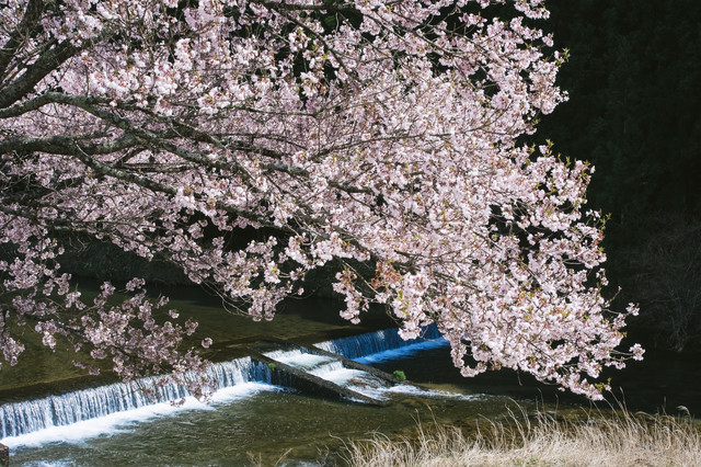 名倉川とコヒガンザクラの写真