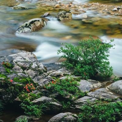 岩つつじが咲く岩場と小戸名の渓流の写真