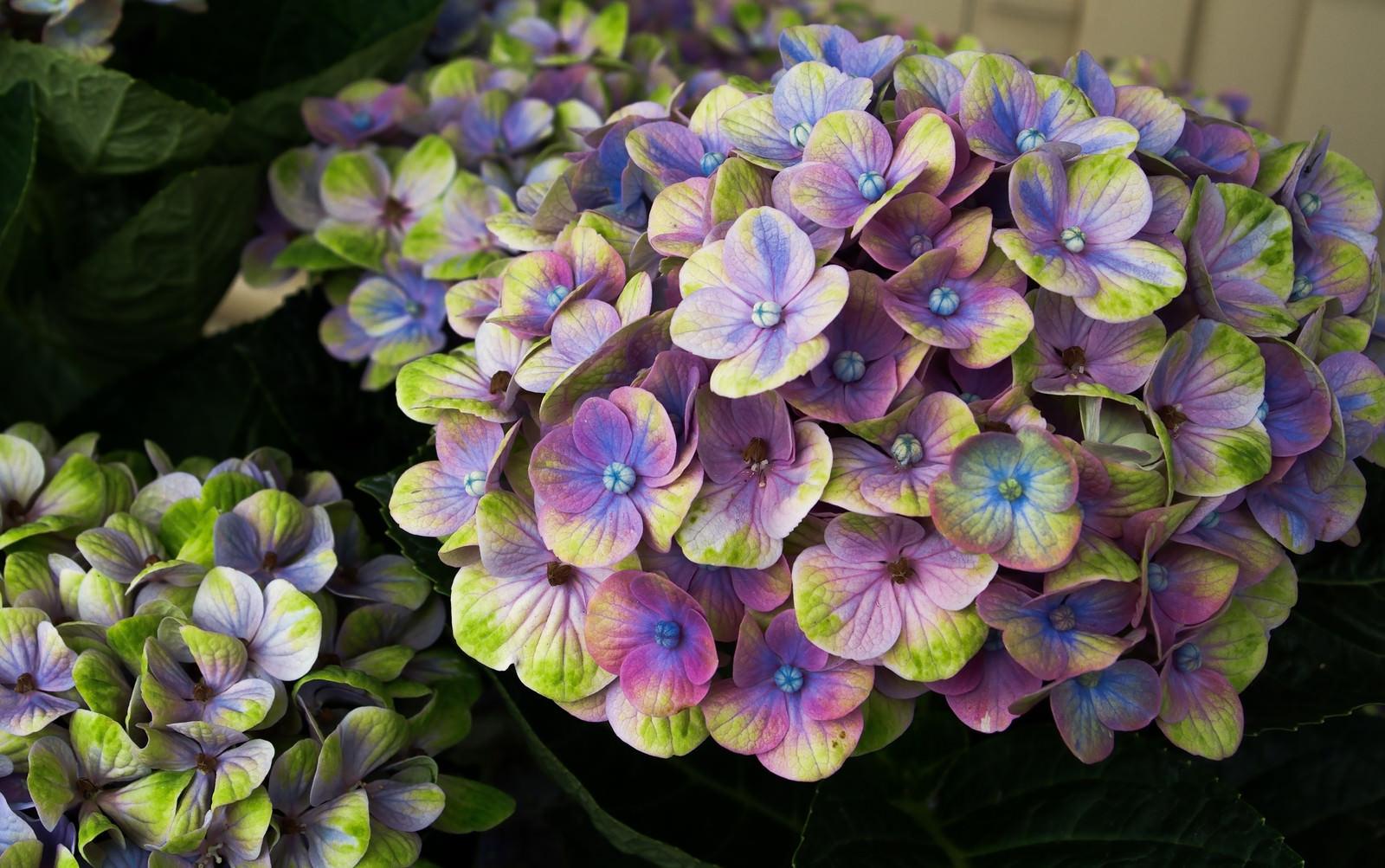 「不思議な色合いの紫陽花(マジカルコーラル)」の写真
